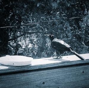 my birthday crow